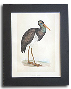 19th century hand-coloured bird print by F.O. Morris